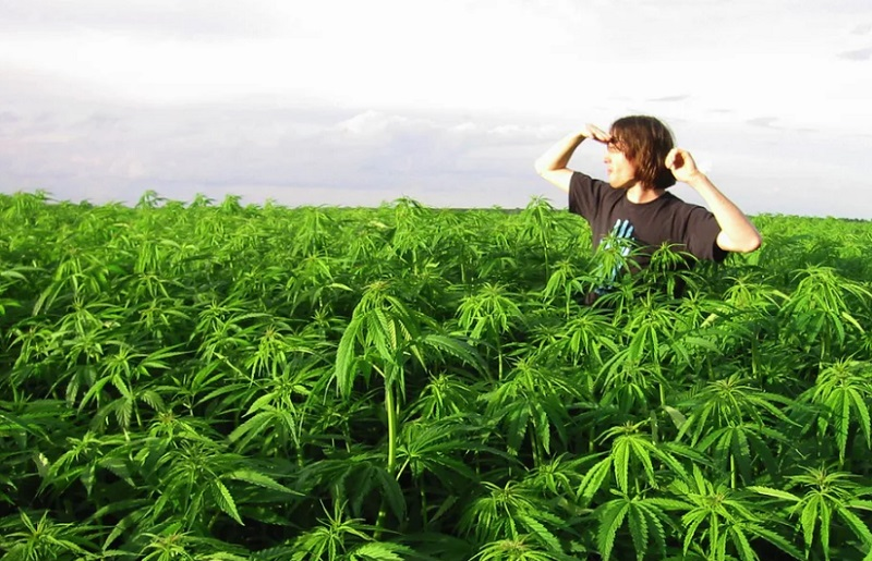 Поле конопли московская область съел марихуану